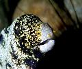 Yellow Spotted Golden Eye Eel