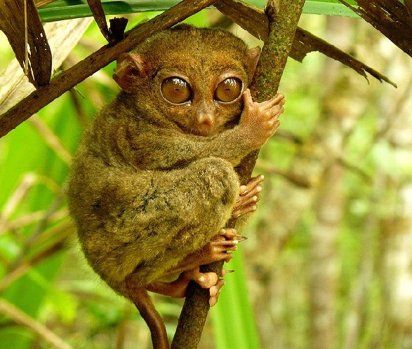 TARSIER MONKEY IN BOHOL